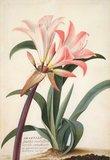 Belladonna Lily, by Georg Dionysius Ehret
