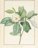Magnolia Glauca, by Pierre Joseph Redoute