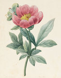 Paeony Mascula, Herbacious, by Louise d'Orleans