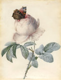 Centifolia Rose with a Peacock Butterfly, by Redoute