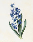 Hyacinth, by Louise d'Orleans