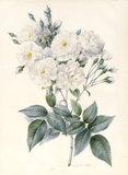 Noisette Rose, by Nathalie d'Esmenard