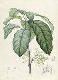 Sterculia Monosperma, by Redoute