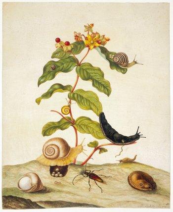 Hyporicum Baxiforum, by Maria Sibylla Merian