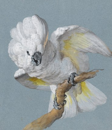 A Great white-crested cockatoo, by Aert Schouman