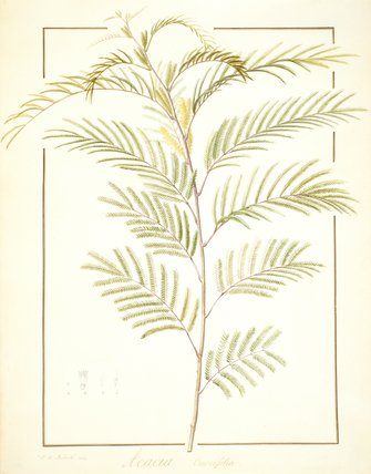 Acacia Currifolia, by Pierre Joseph Redoute