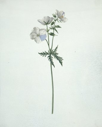 Geranium, by Peter Withoos