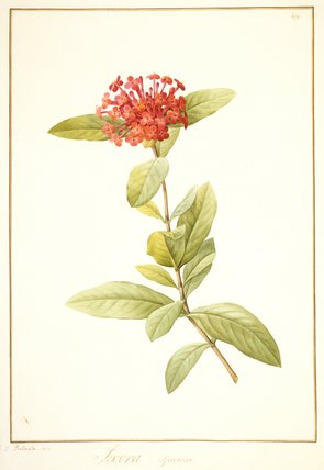 Ixora speciosa, by Pierre Joseph Redoute