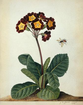 Primulaceae (Primula), by Georg Dionysius Ehret