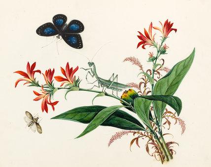 Gladiolus illyricus, Chinese