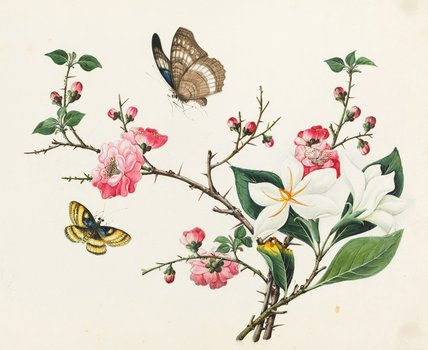 Japonica and Magnolia, Chinese