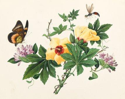 Hibiscus, Chinese