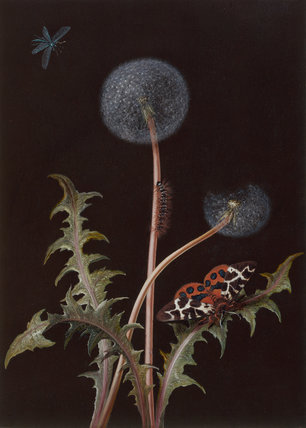 Taraxacum officinale, by Barbara Regina Dietzsch