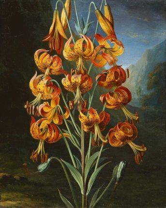 Lilium Superbum, by Philip Reinagle