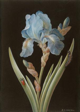 Blue Iris, caterpillar and beetle, by Barbara Regina Dietzsch