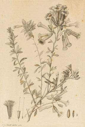 Periphragmos Species, by Pierre Joseph Redoute