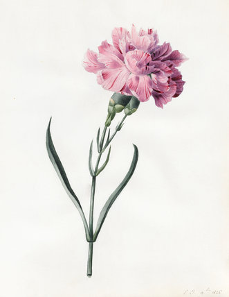 Carnation, by Louise d'Orleans