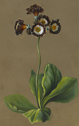 Hybrid Auricula, by Louise d'Orleans