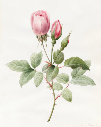 Pink Rose and Buds, by Louise d'Orleans