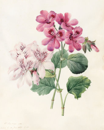 Two Hybrid Pelargoniums, by Louise d'Orleans