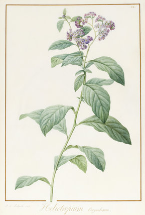 Heliotropium Corymbosum, by Pierre Joseph Redoute