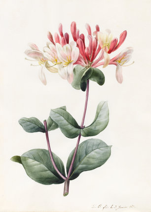 Honeysuckle, by Louise d'Orleans