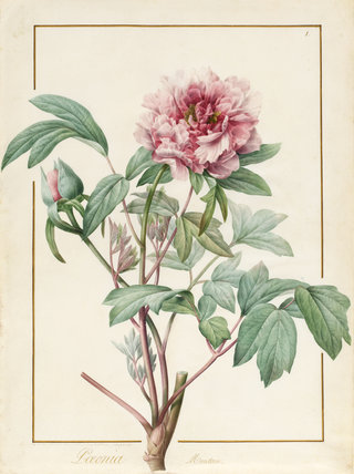 Paeonia Montan, by Pierre Joseph Redoute