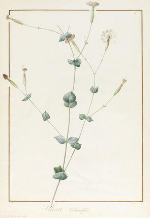 Silene Chloraefolia, by Pierre Joseph Redoute