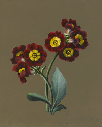 Red Primula Auricula, by Louise d'Orleans