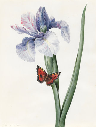 Blue Iris and Butterfly (Spuria), by Louise d'Orleans