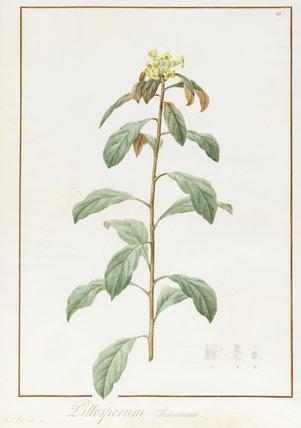 Pittosporum Tomentosum, by Pierre Joseph Redoute