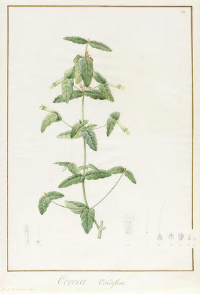 Correa Viridiflora, by Pierre Joseph Redoute