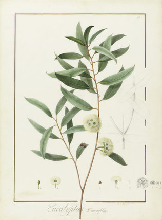 Eucalyptus Diversifolia, by Pierre Joseph Redoute
