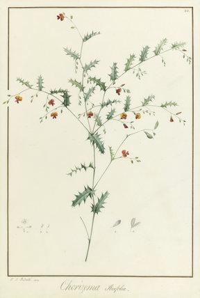 Chorizema Ilicifolia, by Redoute