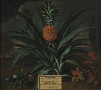 Pineapple grown in Sir Matthew Decker's garden