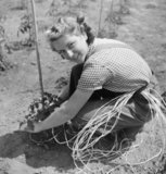 A student at the women's horticultural college at Waterperry House, Oxfordshire, ties up tomato plants, 1943.