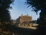Dredge corn, a mixture of oats and barley used for stock feeding, being harvested at Ralph Hoare's farm at Staverton in Devon, September 1942.