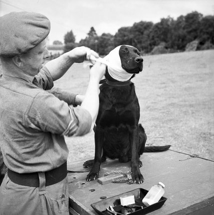 A sergeant of the Royal Army Veterinary Corps bandages the wounded ear of 'Jasper', a mine-detecting dog at Bayeux in Normandy, 5 July 1944.