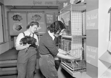 Land Girls placing chickens into cages as part of the 'Off the Ration' exhibition at Charing Cross underground station in London during 1942.