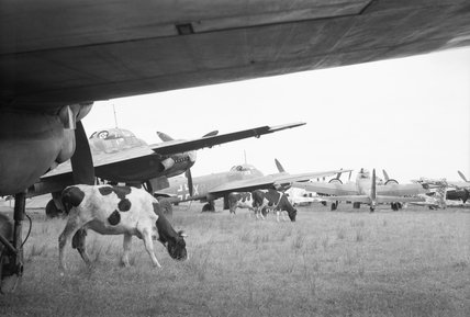 Cattle grazing amongst Junkers Ju 88 bombers awaiting disposal at Flensburg airfield in Germany, 2 August 1945
