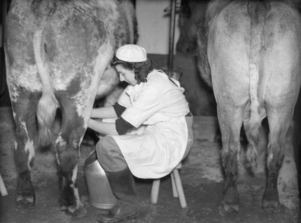 A member of the Women's Land Army milks a cow at the WLA training centre at Cannington, Somerset in 1940.