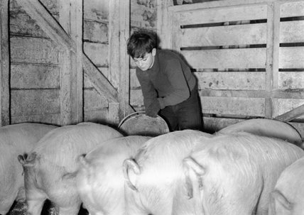 Evacuee Tony Ponsford feeds the pigs at Dartington School Farm, Totnes, Devon during 1941.