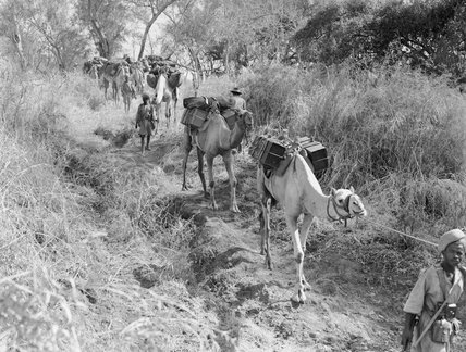 Ethiopian camel troops transporting supplies through the bush during the Abyssinian campaign, 22 January 1941.