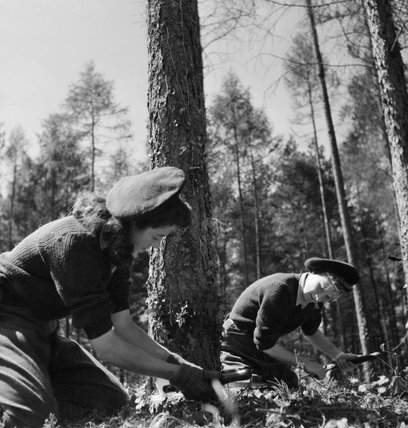 Land Girls using a double saw to cut down a tree as part of their training at the Women's Land Army camp in Culford, Suffolk in 1943.