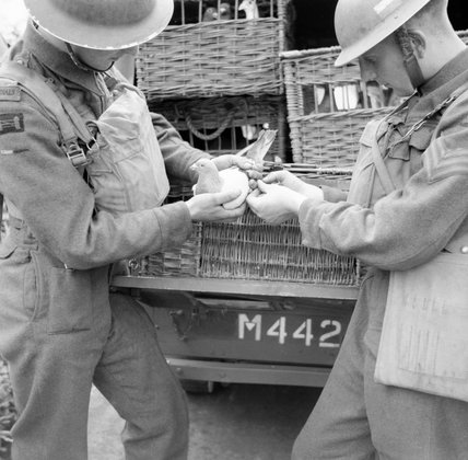 A message written on rice paper is put into a container and attached to a carrier pigeon by members of 61st Division Signals at Ballymena, Northern Ireland, 3 July 1941.