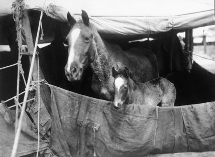 A mare and her foal look out from a tent at No. 5 Veterinary Hospital, Abbeville, 3 March 1916.