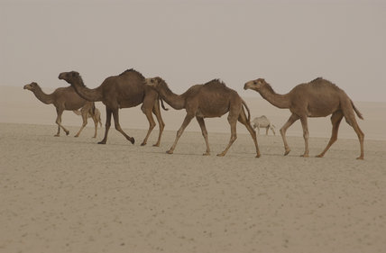 Camels pass the site of No. 33 Field Hospital in the Kuwaiti desert, 18 February 2003.