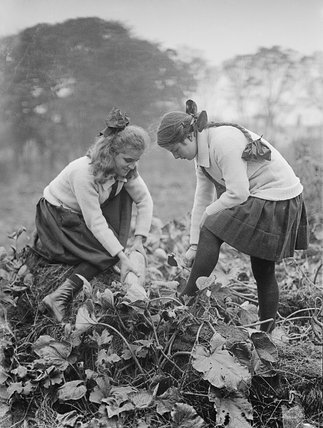 Two school girls harvest marrows from the school vegetable patch during the First World War.