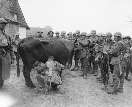 Troops milking a cow found in evacuated Marquois, 13 April 1918.