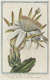Melocactus Americanus trigonus flore albo